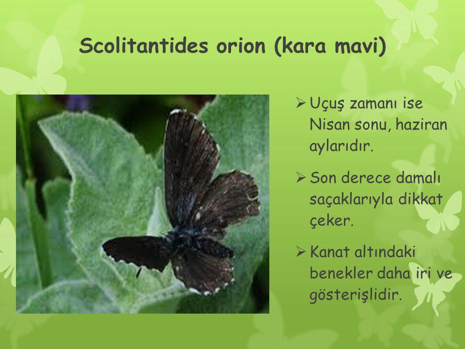 Scolitantides orion (kara mavi)