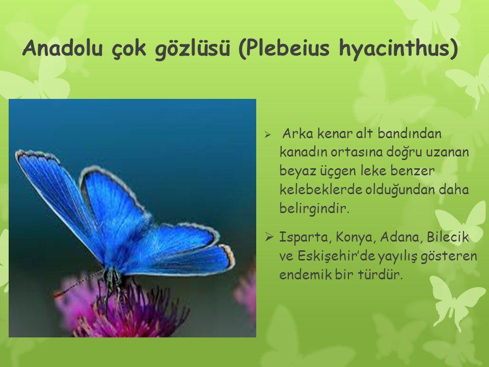 Anadolu çok gözlüsü (Plebeius hyacinthus)