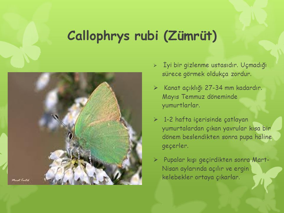 Callophrys rubi (Zümrüt)