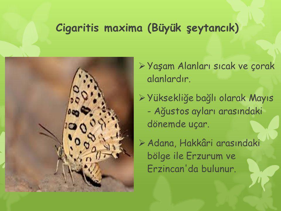 Cigaritis maxima (Büyük şeytancık)