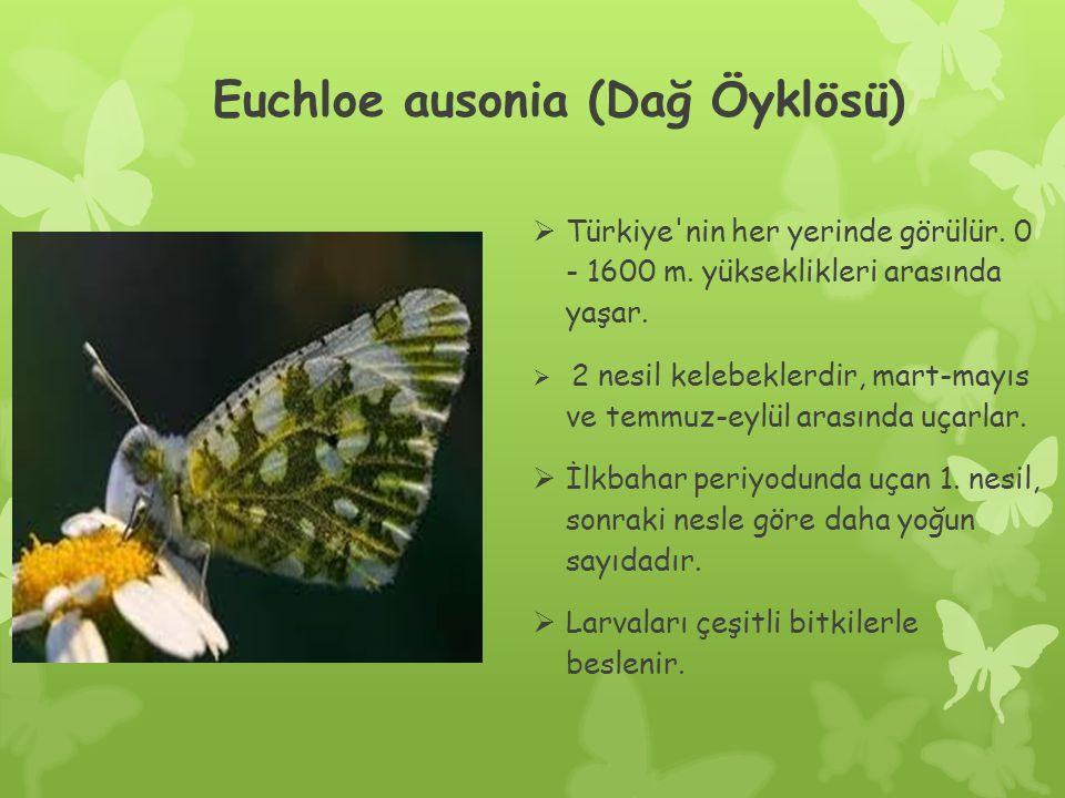 Euchloe ausonia (Dağ Öyklösü)
