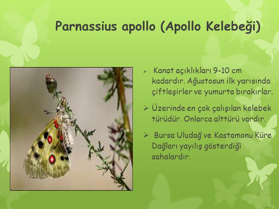 Parnassius apollo (Apollo Kelebeği)