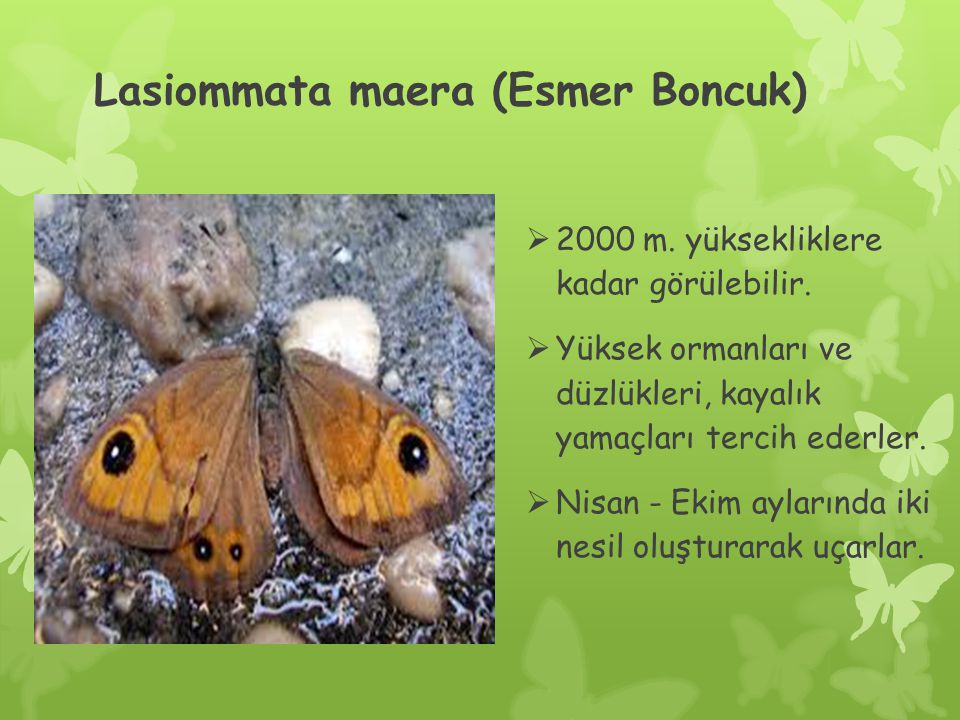 Lasiommata maera (Esmer Boncuk)