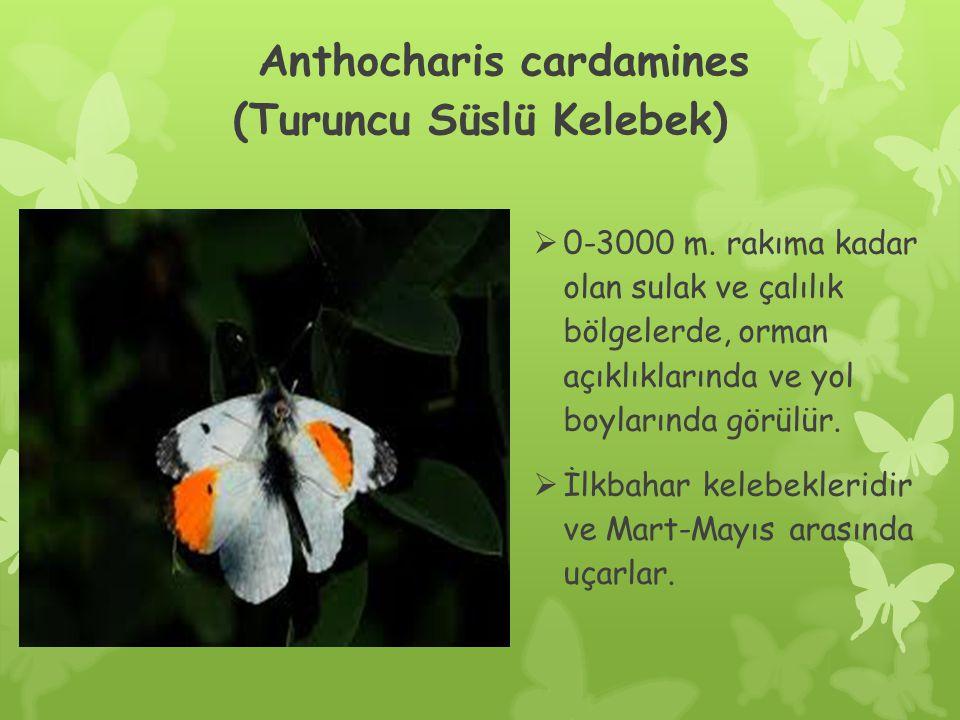 Anthocharis cardamines (Turuncu Süslü Kelebek)