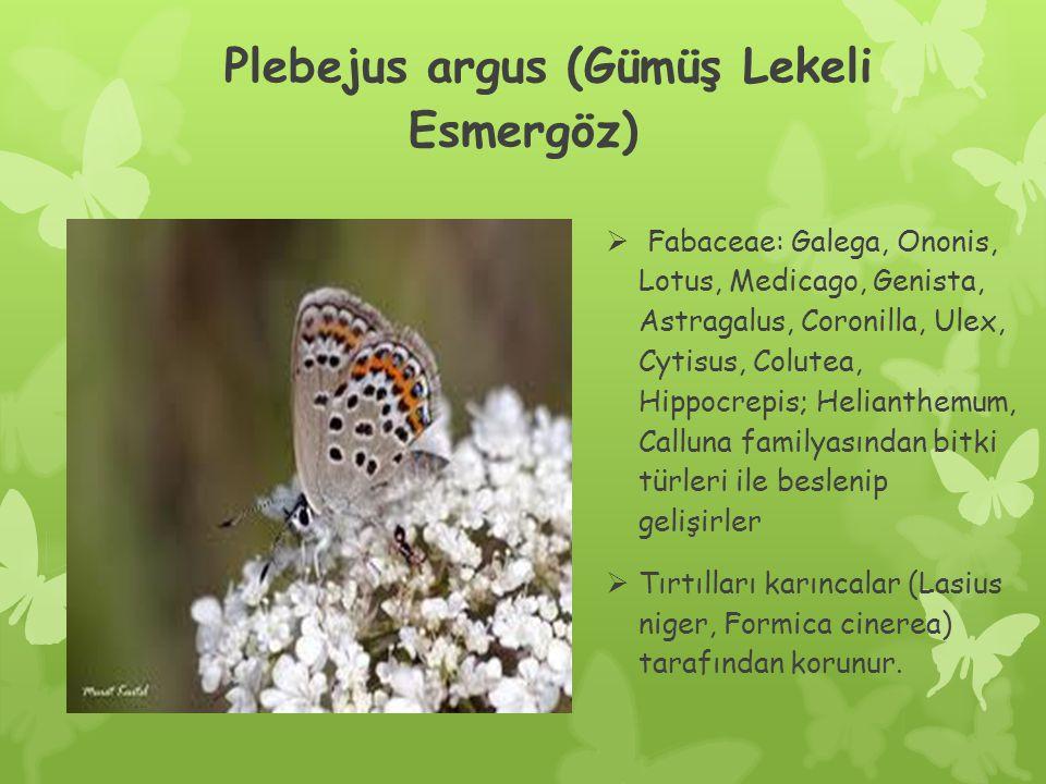 Plebejus argus (Gümüş Lekeli Esmergöz)