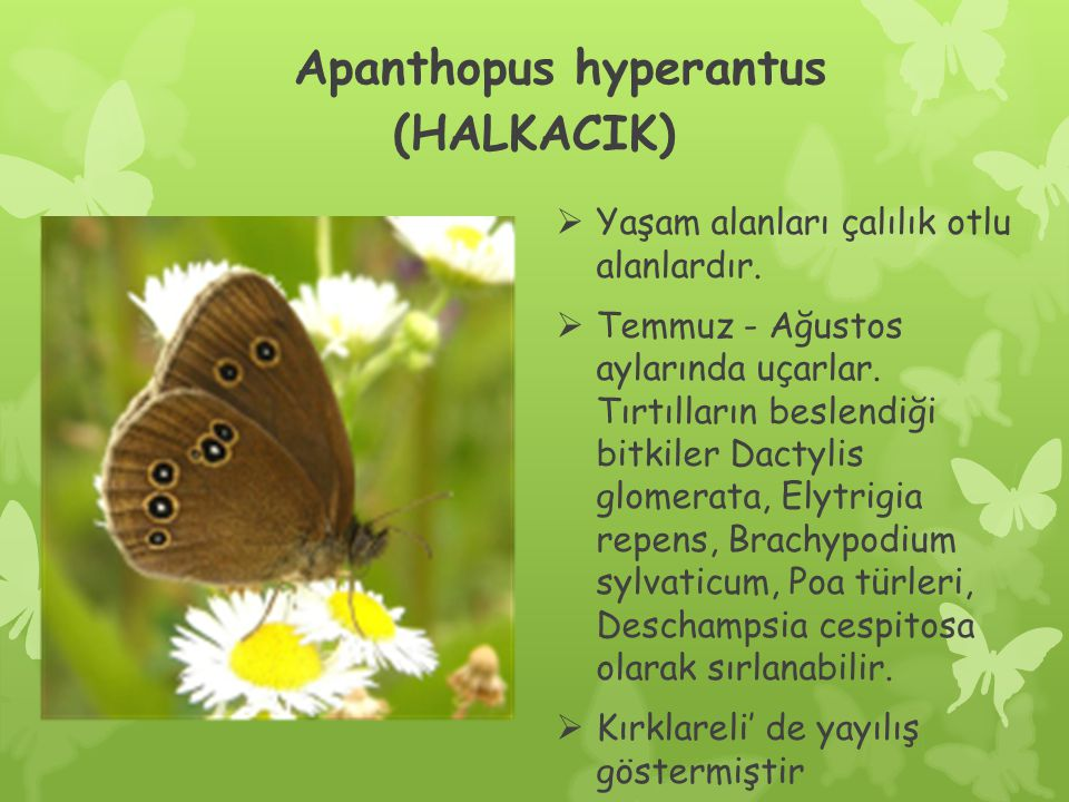 Apanthopus hyperantus (HALKACIK)
