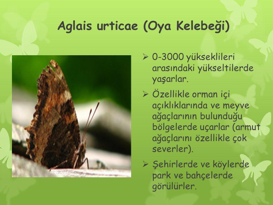 Aglais urticae (Oya Kelebeği)