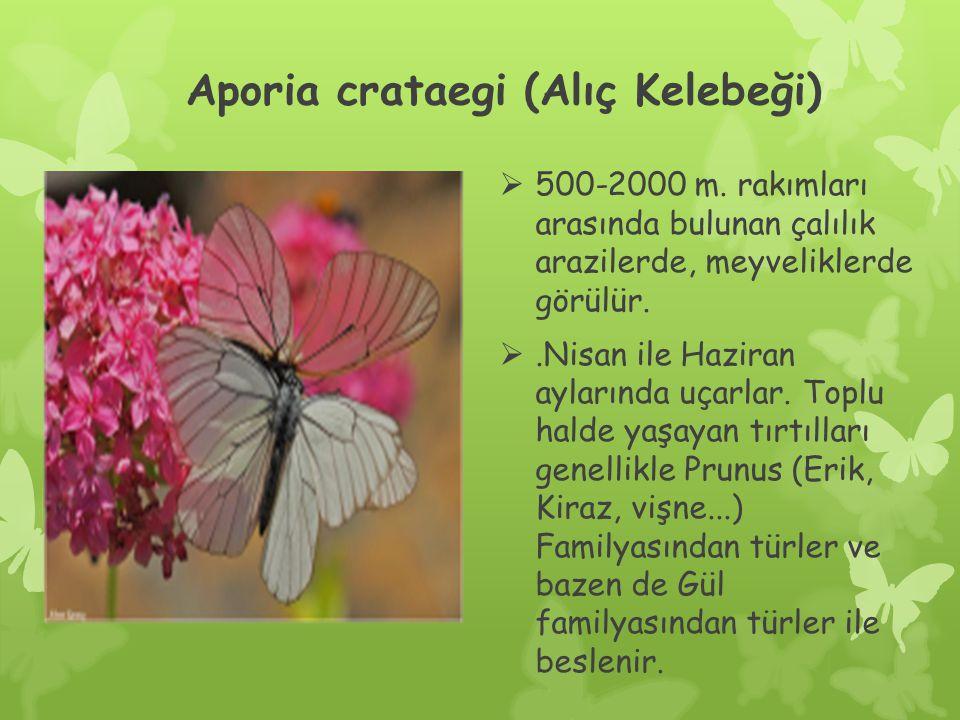 Aporia crataegi (Alıç Kelebeği)