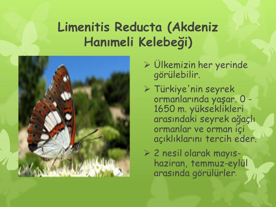 Limenitis Reducta (Akdeniz Hanımeli Kelebeği)