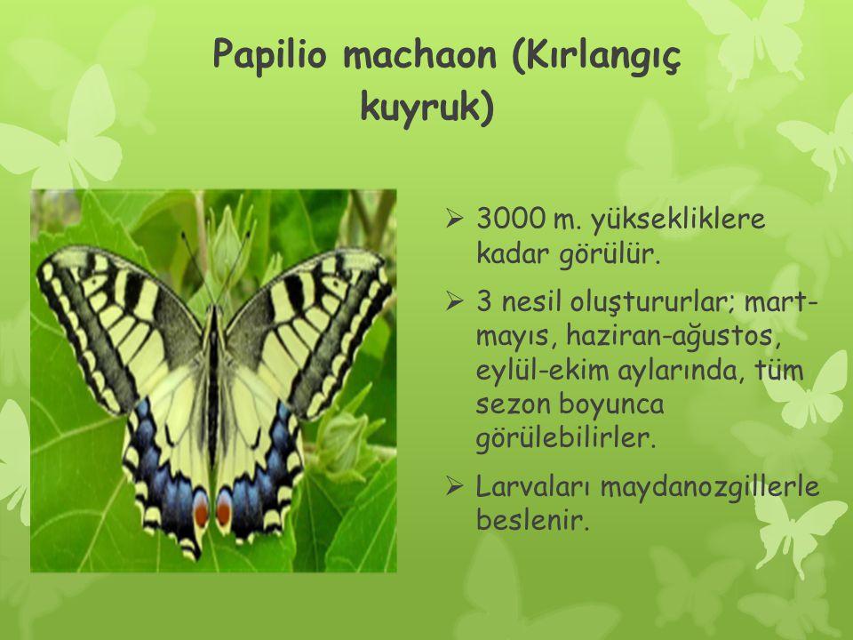 Papilio machaon (Kırlangıç kuyruk)