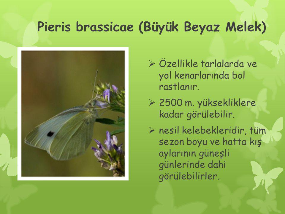 Pieris brassicae (Büyük Beyaz Melek)