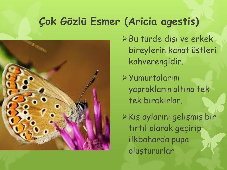 Çok Gözlü Esmer (Aricia agestis)