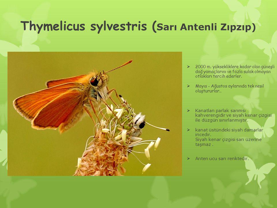 Thymelicus sylvestris (Sarı Antenli Zıpzıp)