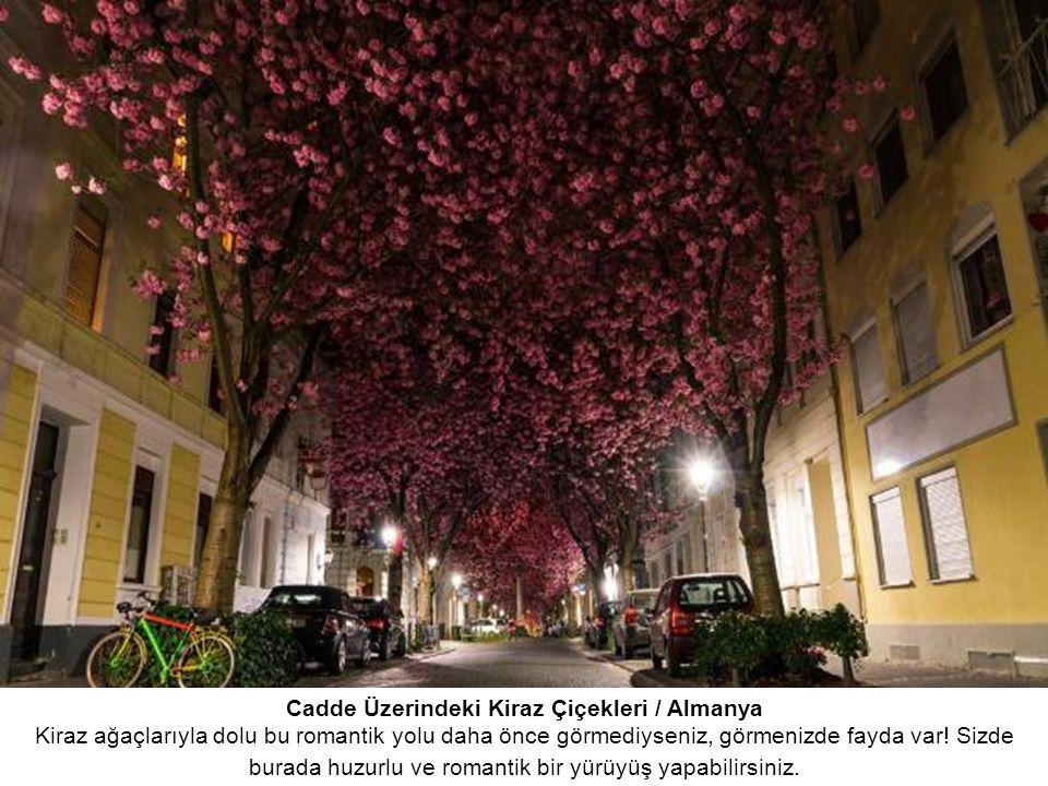 Cadde Üzerindeki Kiraz Çiçekleri / Almanya