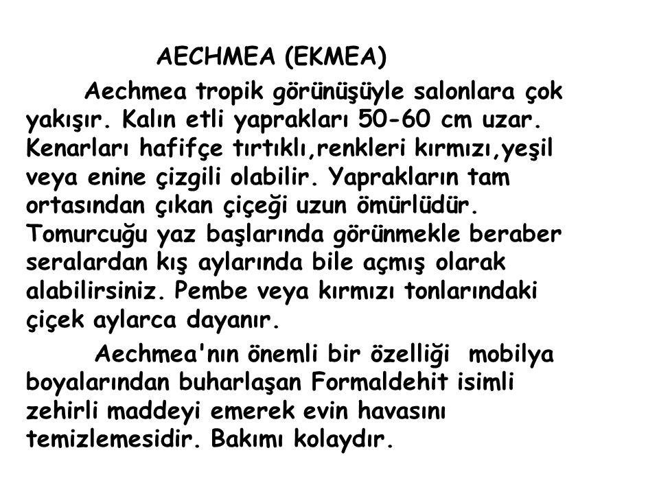 AECHMEA (EKMEA)