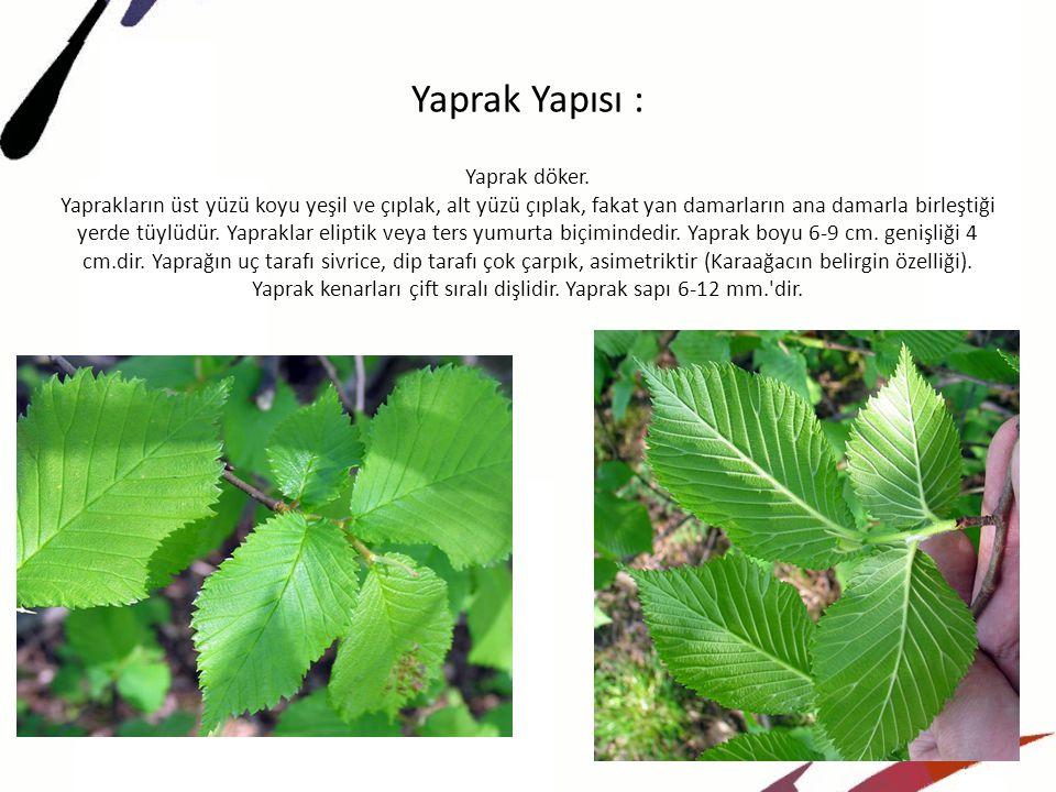 Yaprak Yapısı :