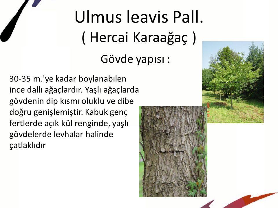 Ulmus leavis Pall. ( Hercai Karaağaç )