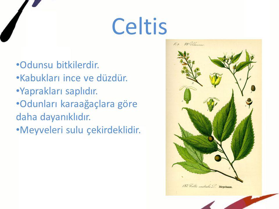 Celtis Odunsu bitkilerdir. Kabukları ince ve düzdür.