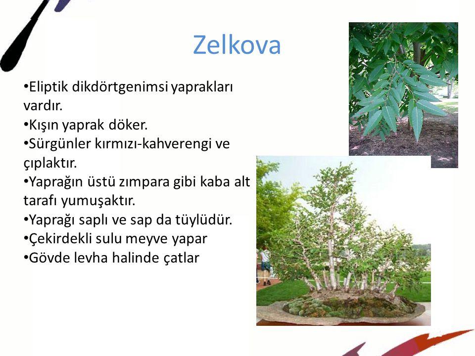 Zelkova Eliptik dikdörtgenimsi yaprakları vardır. Kışın yaprak döker.