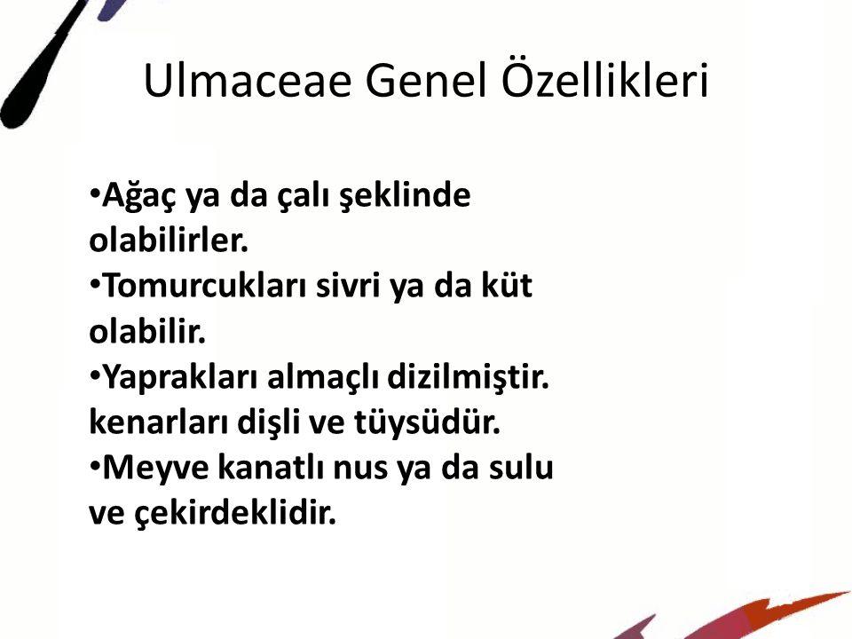 Ulmaceae Genel Özellikleri