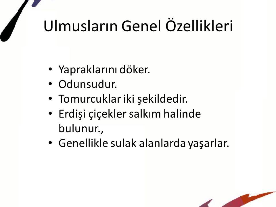 Ulmusların Genel Özellikleri
