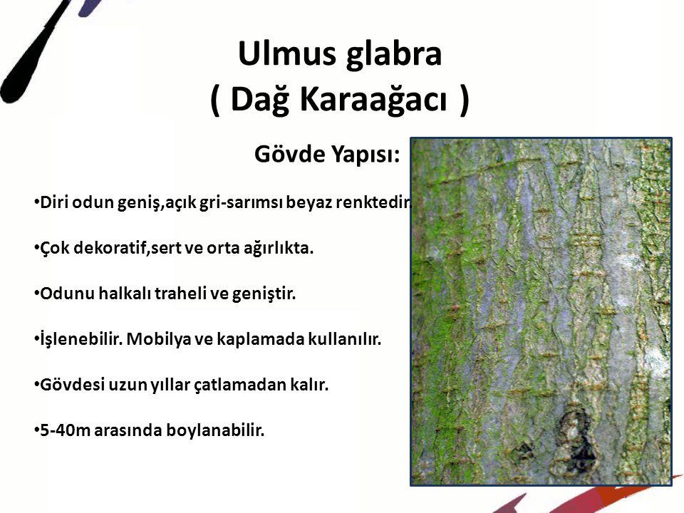 Ulmus glabra ( Dağ Karaağacı )
