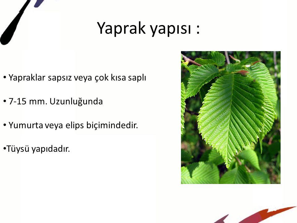 Yaprak yapısı : Yapraklar sapsız veya çok kısa saplı
