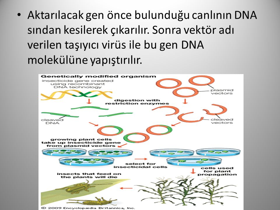 Aktarılacak gen önce bulunduğu canlının DNA sından kesilerek çıkarılır