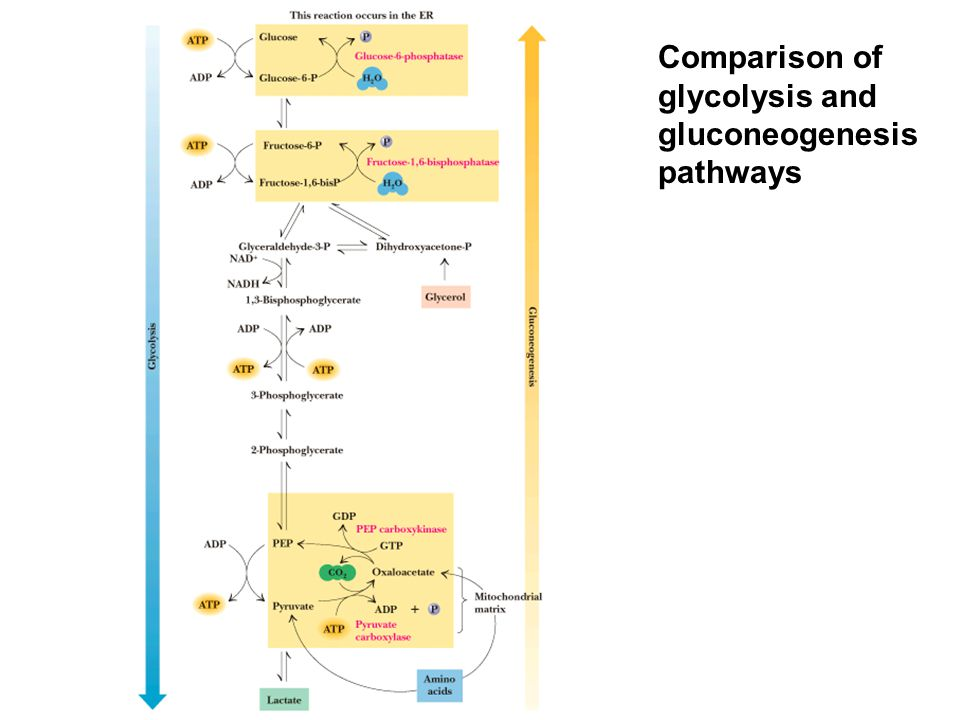Comparison of glycolysis and gluconeogenesis pathways