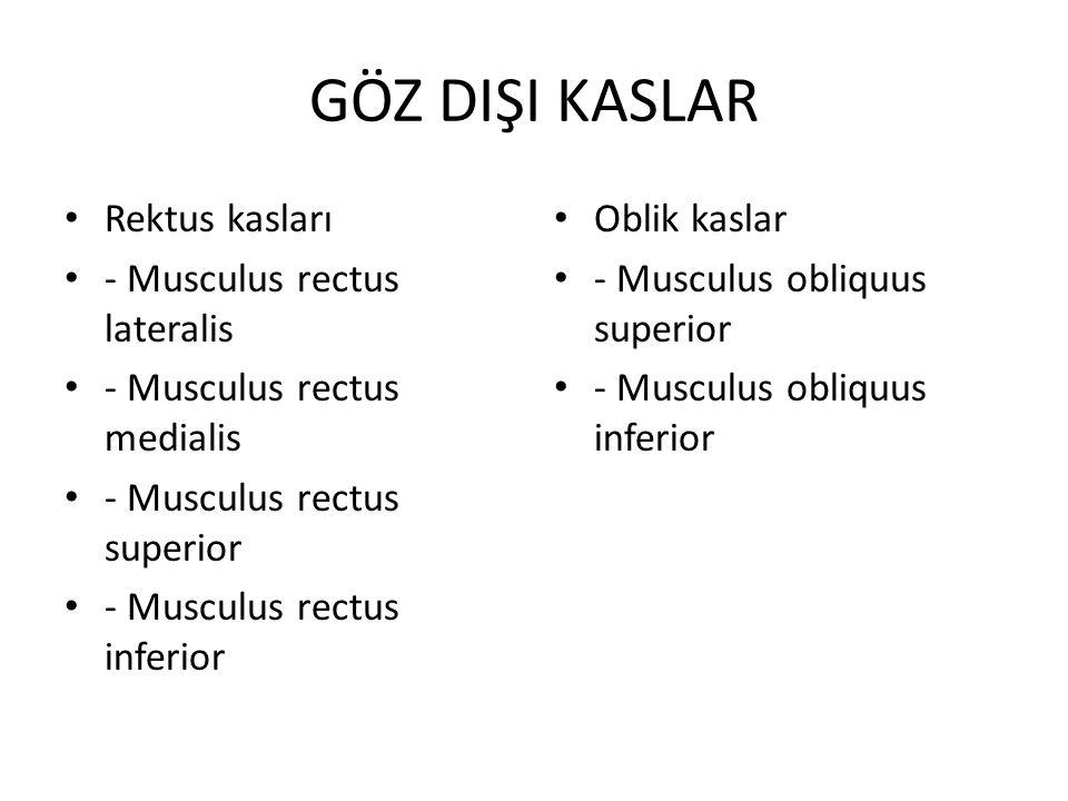 GÖZ DIŞI KASLAR Rektus kasları - Musculus rectus lateralis