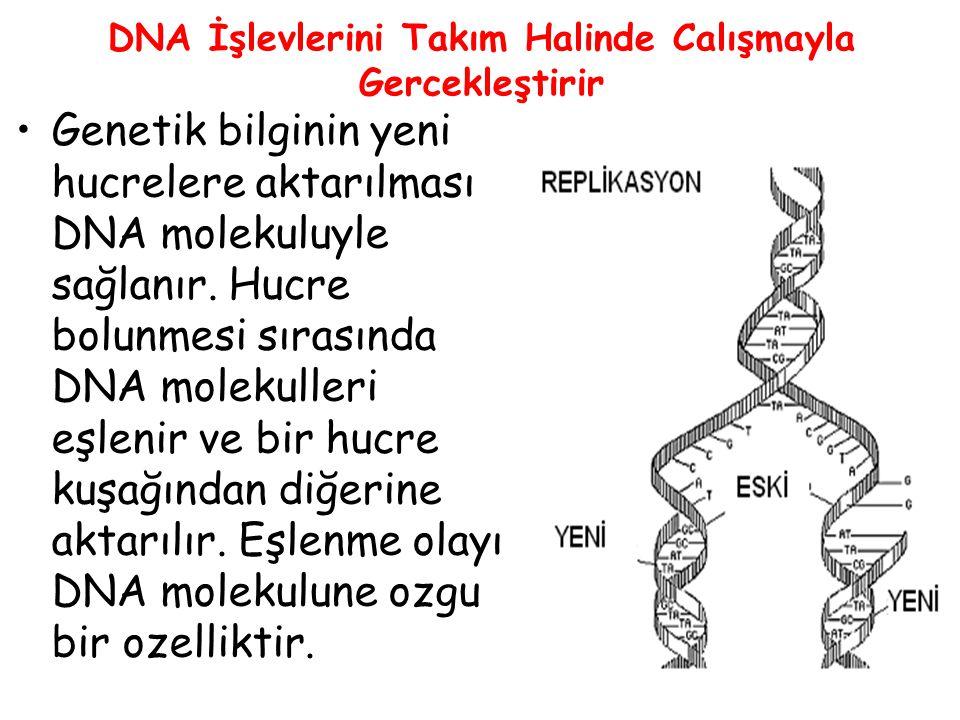 DNA İşlevlerini Takım Halinde Calışmayla Gercekleştirir