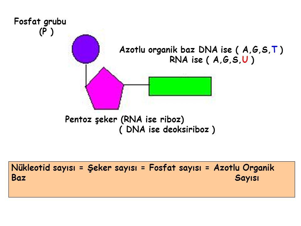 Fosfat grubu (P ) Azotlu organik baz DNA ise ( A,G,S,T ) RNA ise ( A,G,S,U ) Pentoz şeker (RNA ise riboz)