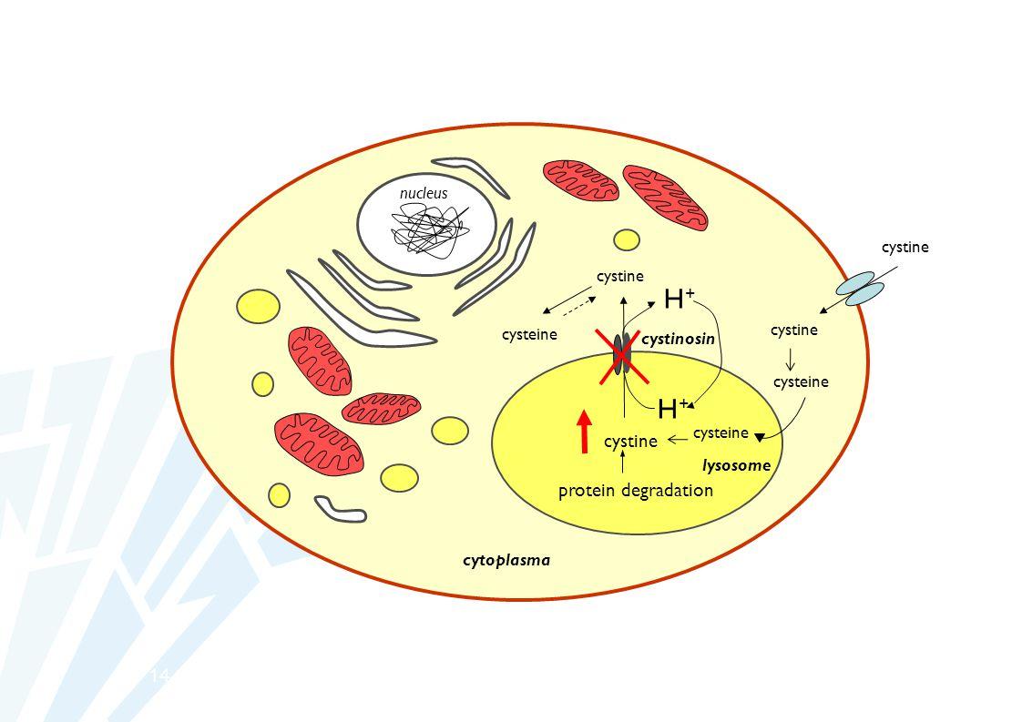 H+ H+ cystine protein degradation 14 nucleus cystine cystine cysteine