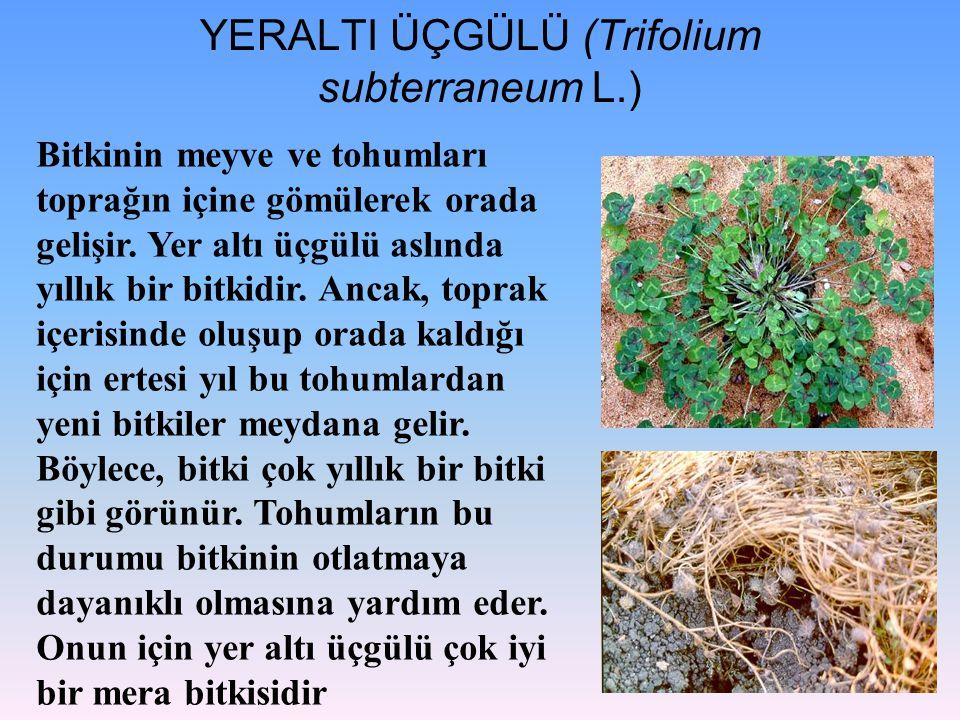 YERALTI ÜÇGÜLÜ (Trifolium subterraneum L.)