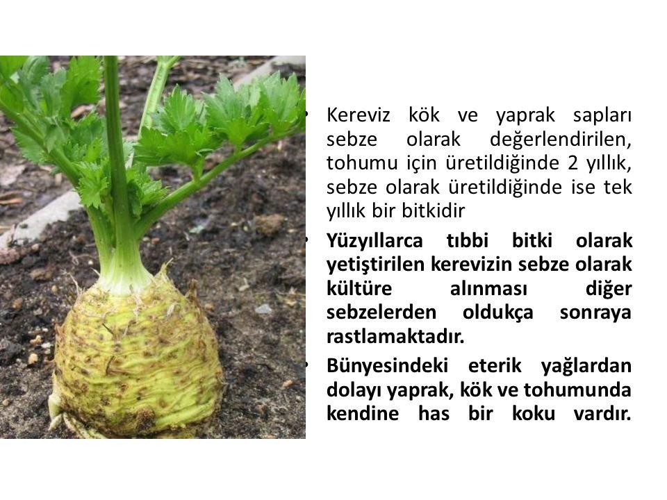Kereviz kök ve yaprak sapları sebze olarak değerlendirilen, tohumu için üretildiğinde 2 yıllık, sebze olarak üretildiğinde ise tek yıllık bir bitkidir