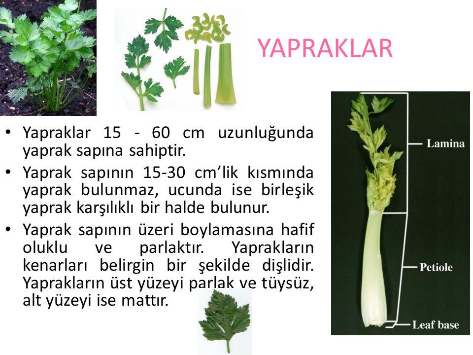 YAPRAKLAR Yapraklar 15 - 60 cm uzunluğunda yaprak sapına sahiptir.