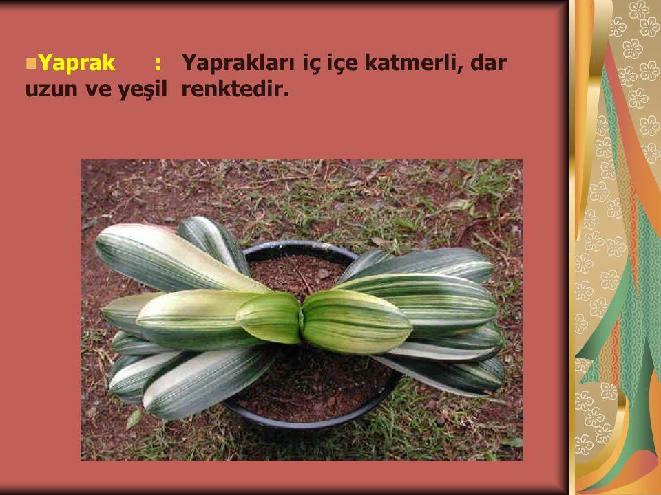 Yaprak : Yaprakları iç içe katmerli, dar uzun ve yeşil renktedir.