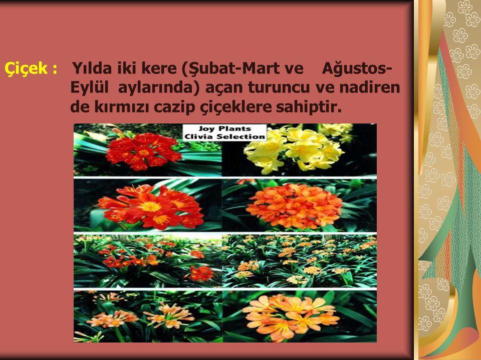 Çiçek : Yılda iki kere (Şubat-Mart ve Ağustos-