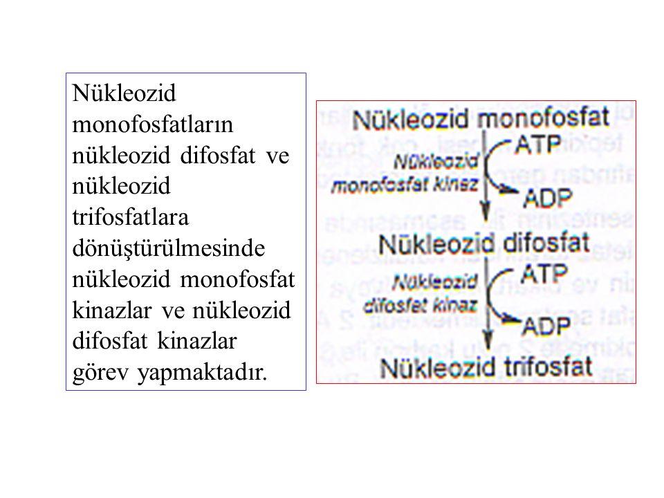 Nükleozid monofosfatların nükleozid difosfat ve nükleozid trifosfatlara dönüştürülmesinde nükleozid monofosfat kinazlar ve nükleozid difosfat kinazlar görev yapmaktadır.