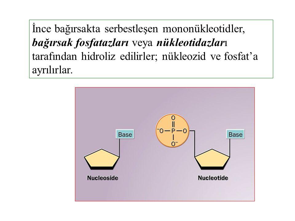İnce bağırsakta serbestleşen mononükleotidler, bağırsak fosfatazları veya nükleotidazları tarafından hidroliz edilirler; nükleozid ve fosfat'a ayrılırlar.