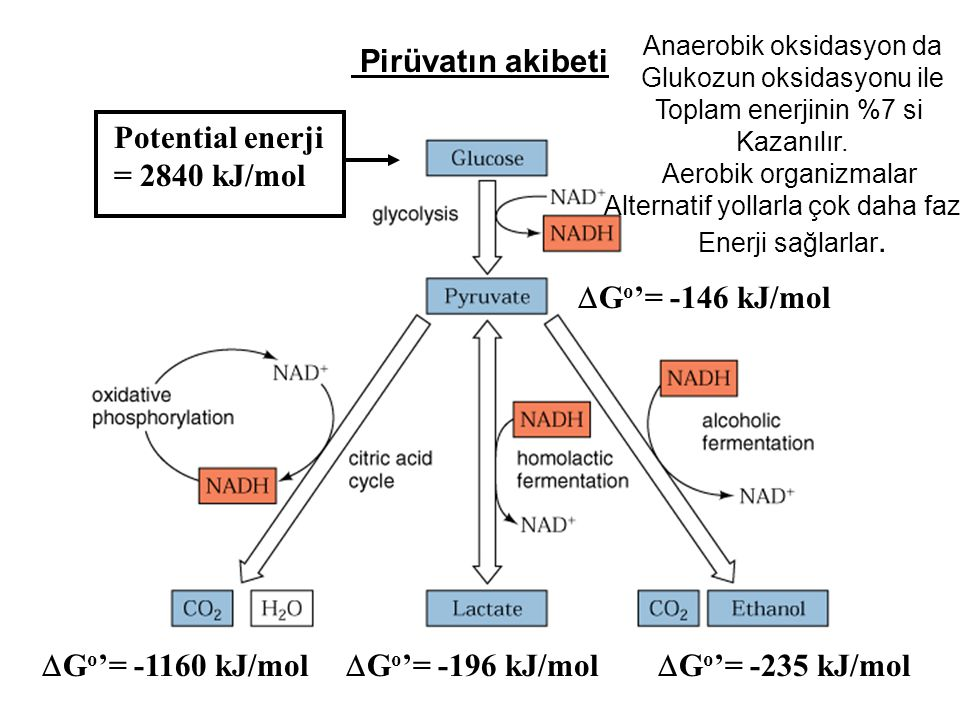 Pirüvatın akibeti Potential enerji = 2840 kJ/mol Go'= -146 kJ/mol