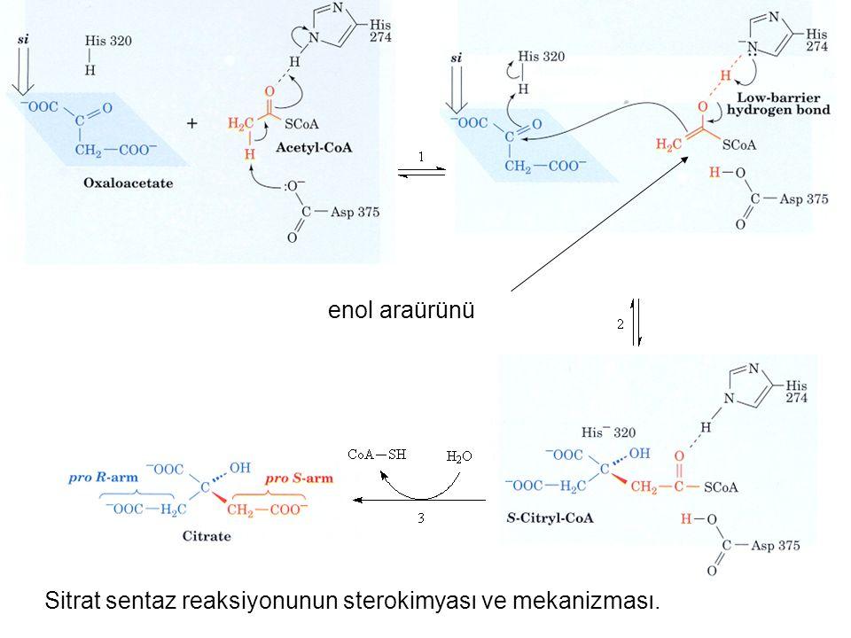enol araürünü Sitrat sentaz reaksiyonunun sterokimyası ve mekanizması.