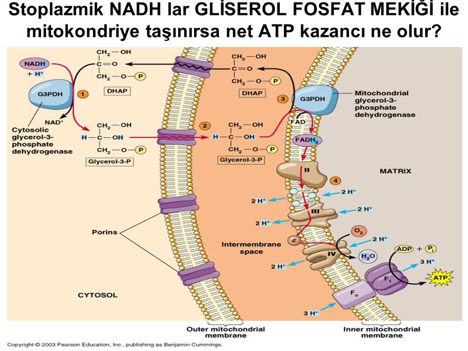Stoplazmik NADH lar GLİSEROL FOSFAT MEKİĞİ ile mitokondriye taşınırsa net ATP kazancı ne olur