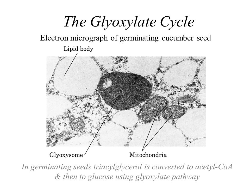 Electron micrograph of germinating cucumber seed