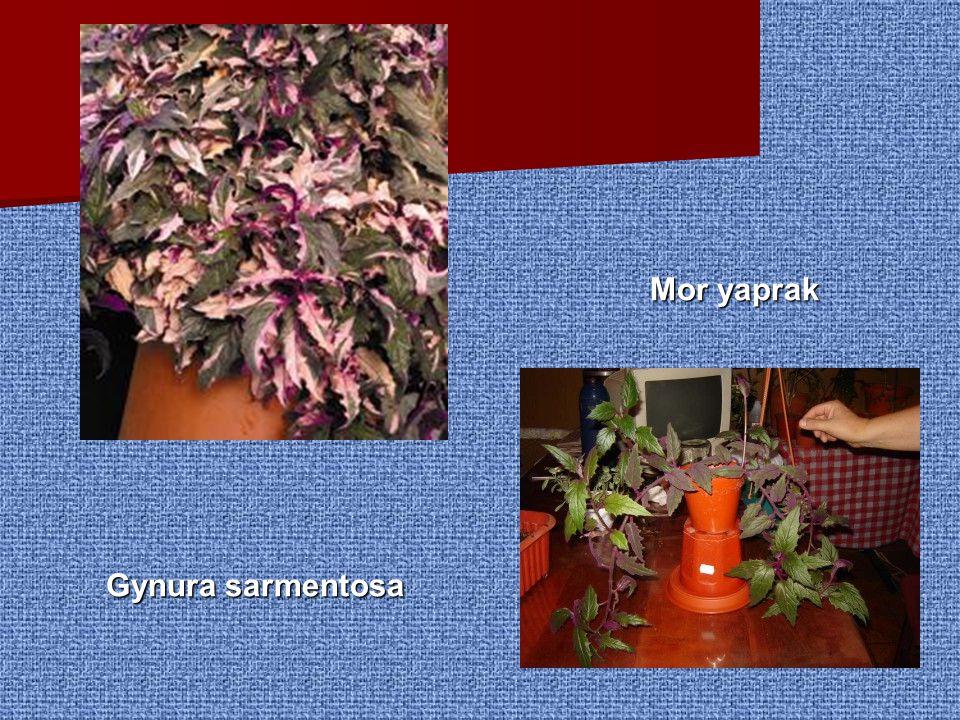 Mor yaprak Gynura sarmentosa