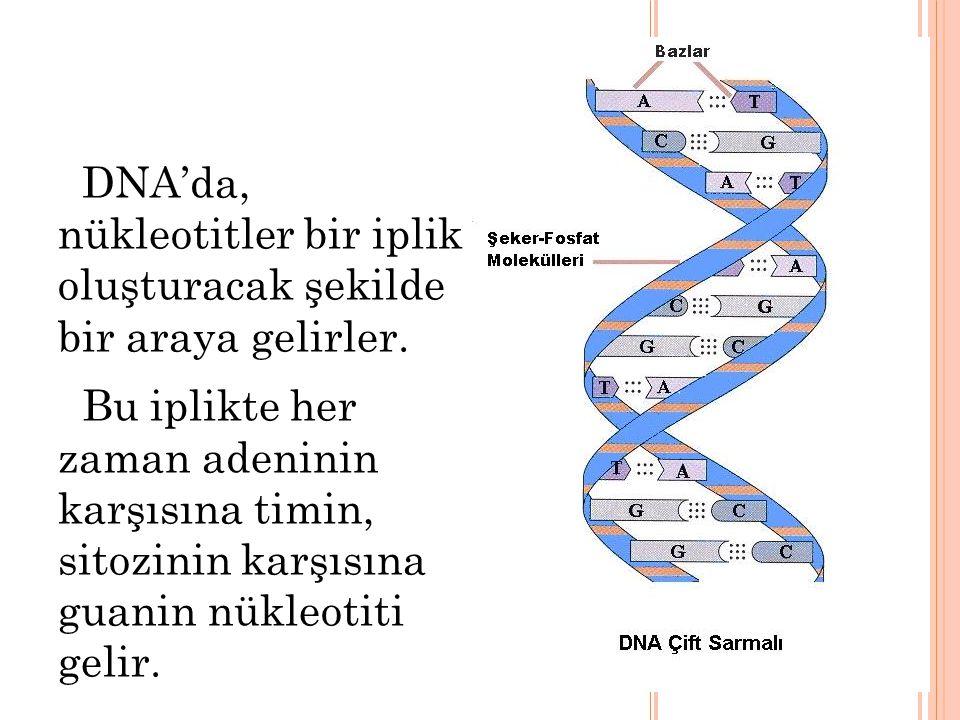 DNA'da, nükleotitler bir iplik oluşturacak şekilde bir araya gelirler.