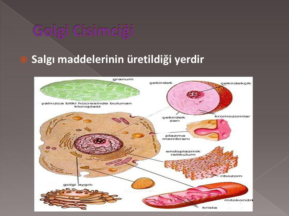 Golgi Cisimciği Salgı maddelerinin üretildiği yerdir