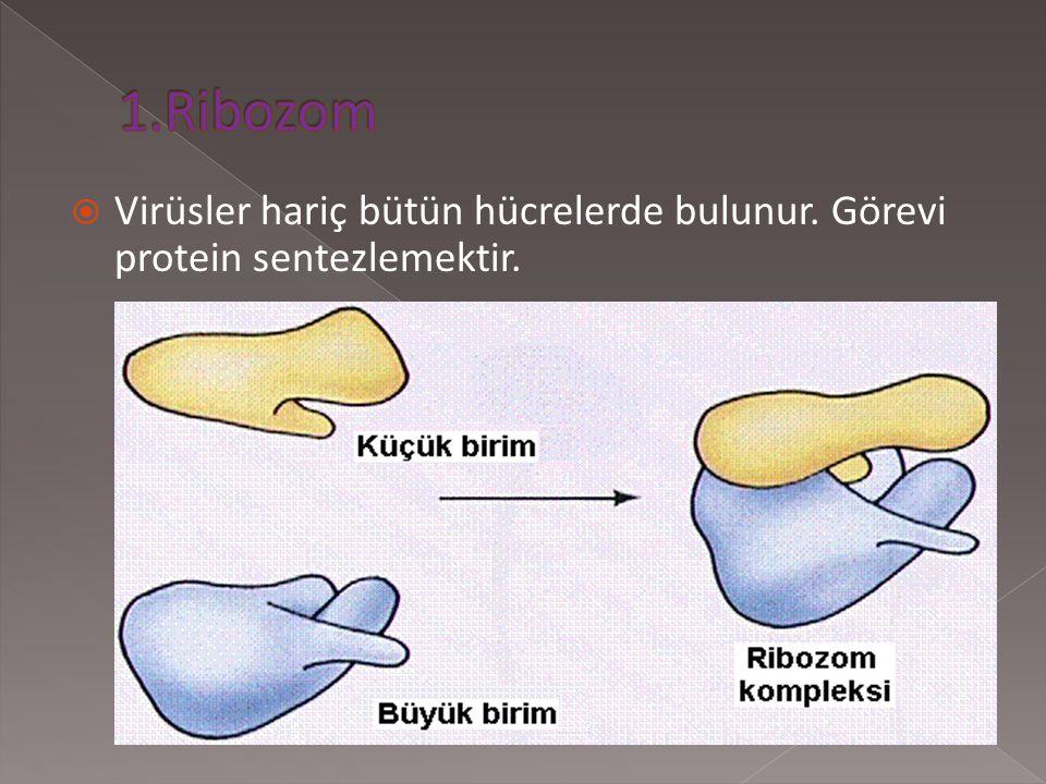 1.Ribozom Virüsler hariç bütün hücrelerde bulunur. Görevi protein sentezlemektir.