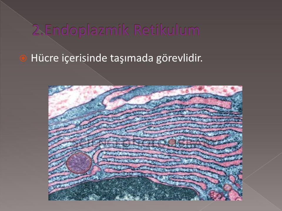 2.Endoplazmik Retikulum