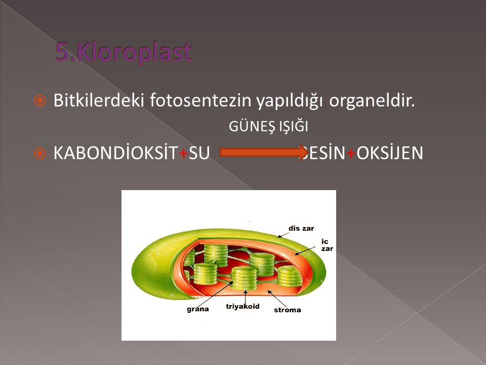 5.Kloroplast Bitkilerdeki fotosentezin yapıldığı organeldir.